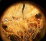 Phanerochaete chrysorhizon image