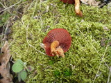 Cortinarius purpureus image