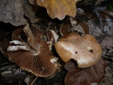 Cortinarius privignoides image
