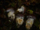 Cortinarius praestans image