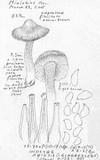 Inocybe abietis image