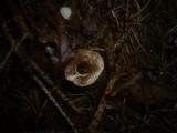 Lepiota echinella image