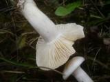 Image of Cuphophyllus berkeleyi