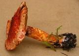 Cortinarius bolaris image