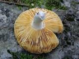 Russula romellii image