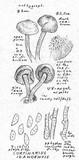 Cortinarius idahoensis image