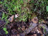 Pseudocraterellus undulatus image