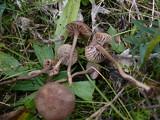 Dermoloma pseudocuneifolium image