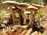 Pholiota terrestris image