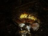 Cortinarius elegantissimus image