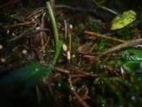 Heyderia abietis image