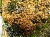 Caloplaca crenulatella image