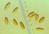 Gomphidius glutinosus image