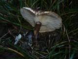 Leucopaxillus mirabilis image