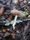 Hebeloma fragilipes image