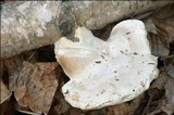 Tyromyces chioneus image
