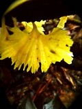 Cotylidia aurantiaca image