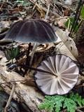 Marasmius amazonicus image