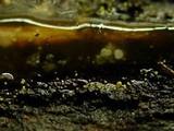 Image of Dendrodochium citrinum