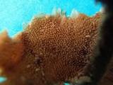 Auriscalpium villipes image