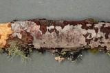 Peniophora decorticans image