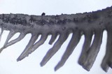 Campanophyllum proboscideum image