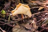 Marasmius cladophyllus image