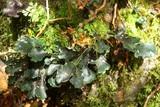 Image of Sticta caulescens