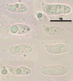 Arrhenia sphagnicola image