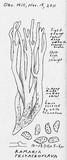 Ramaria testaceoflava image