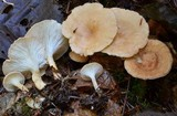 Clitocybe vermicularis image