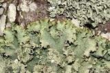 Punctelia caseana image