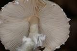 Lepiota clypeolaria image