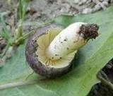 Russula cavipes image