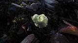 Arrhenia chlorocyanea image