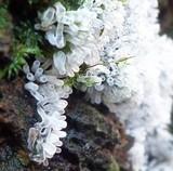 Ceratiomyxa fruticulosa image