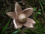 Geastrum rufescens image