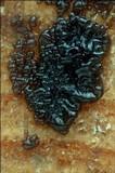 Exidia pithya image