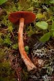Cortinarius californicus image