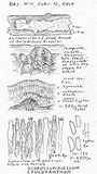 Gloeocystidiellum leucoxanthum image