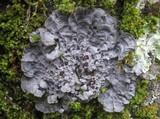 Image of Degelia cyanoloma