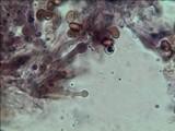 Gymnopilus luteocarneus image