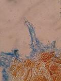 Litschauerella clematidis image