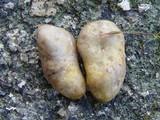 Rhizopogon roseolus image