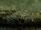 Tapesia fusca image