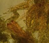 Pezicula carpinea image