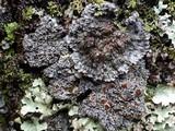 Pannaria rubiginosa image