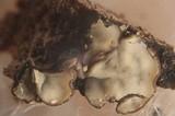 Mollisia melaleuca image