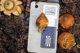 Geastrum australis image
