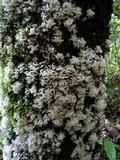 Hydnopolyporus palmatus image